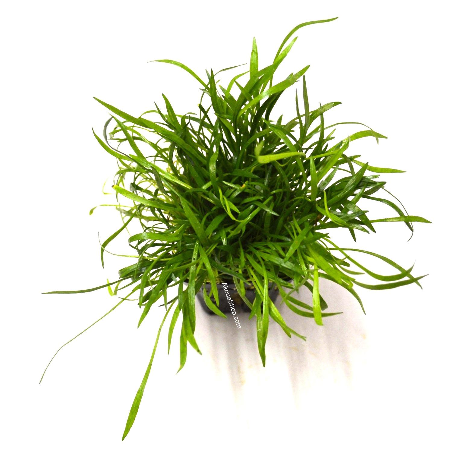 lilaeopsis novea zealandia plante d 39 aquarium en pot de diam tre 5cm plantes d 39 aquarium. Black Bedroom Furniture Sets. Home Design Ideas