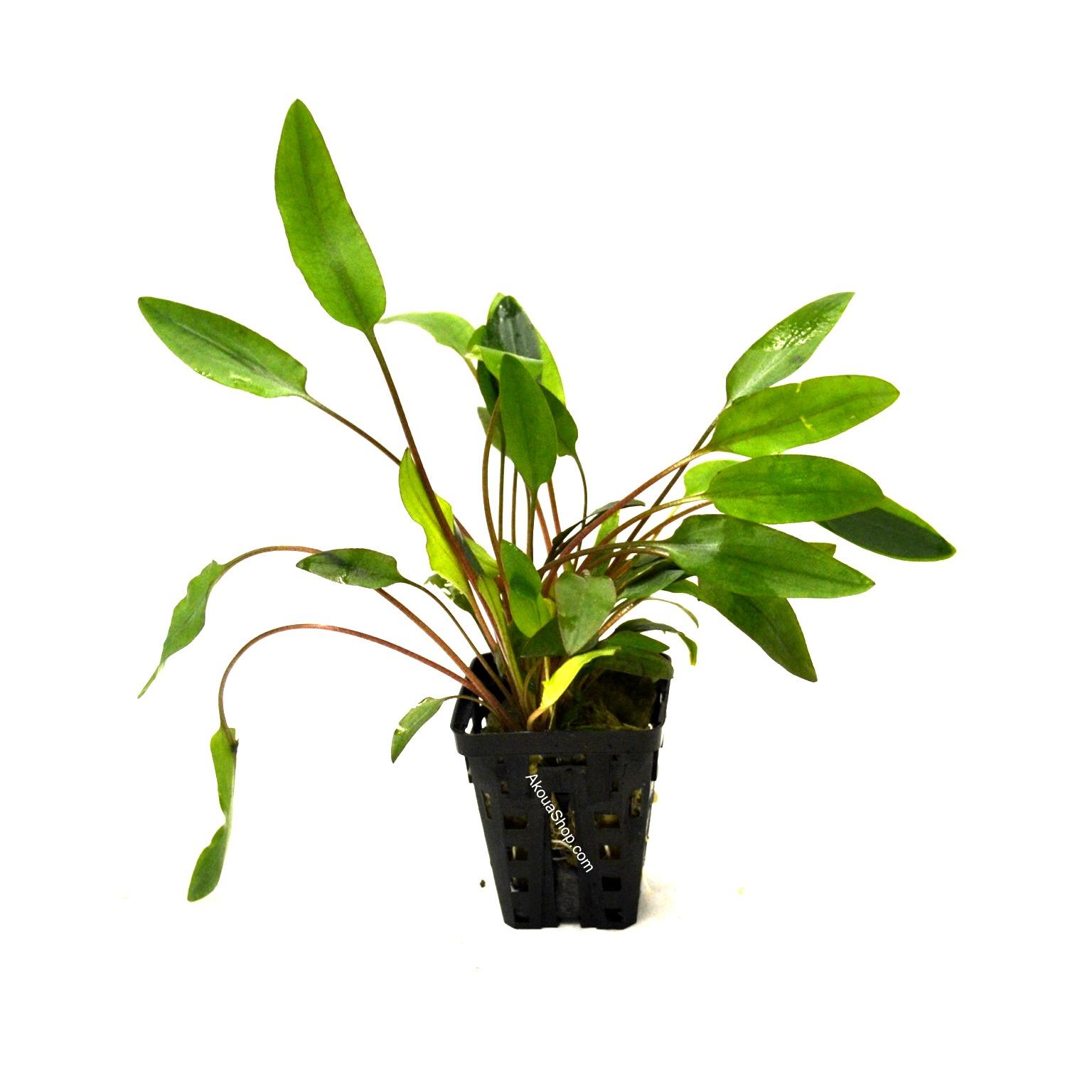 Cryptocoryne beckettii plante d 39 aquarium en pot de for Commande de plantes en ligne