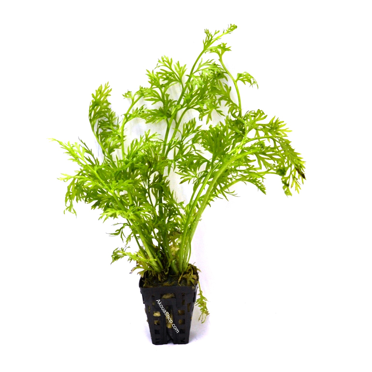 ceratopteris thalictroides plante d 39 aquarium en pot de. Black Bedroom Furniture Sets. Home Design Ideas
