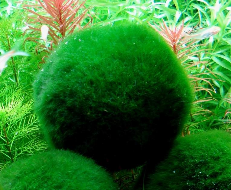 Cladophora aegagropila ou boule anti nitrates aide la for Aquarium en boule