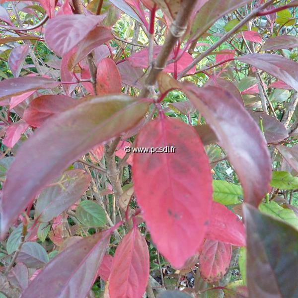 Viburnum Le Bois Marquis ® 3060 C4L  Tous les arbustes