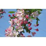 pommier-a-fleurs-163305