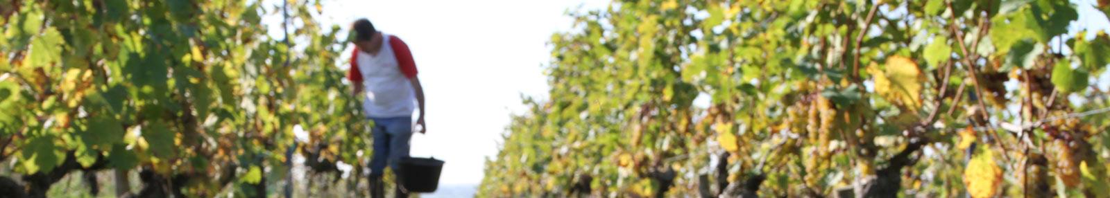 Bandeau de la vigne du Domaine Cady