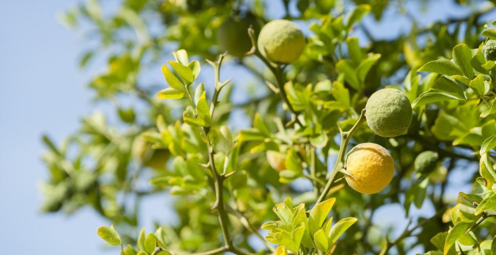 Citronnier Bergamote
