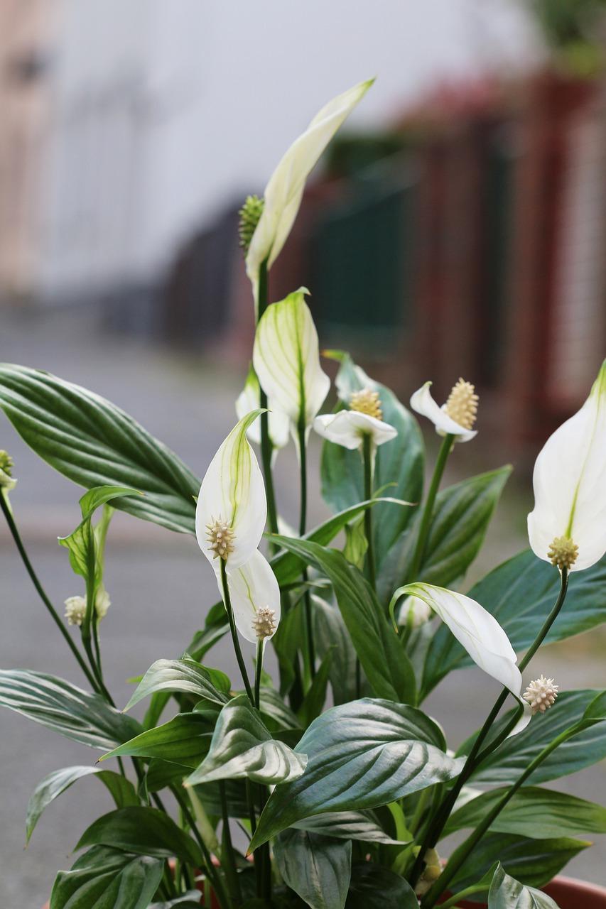Fleur de lune - Spatiphillum
