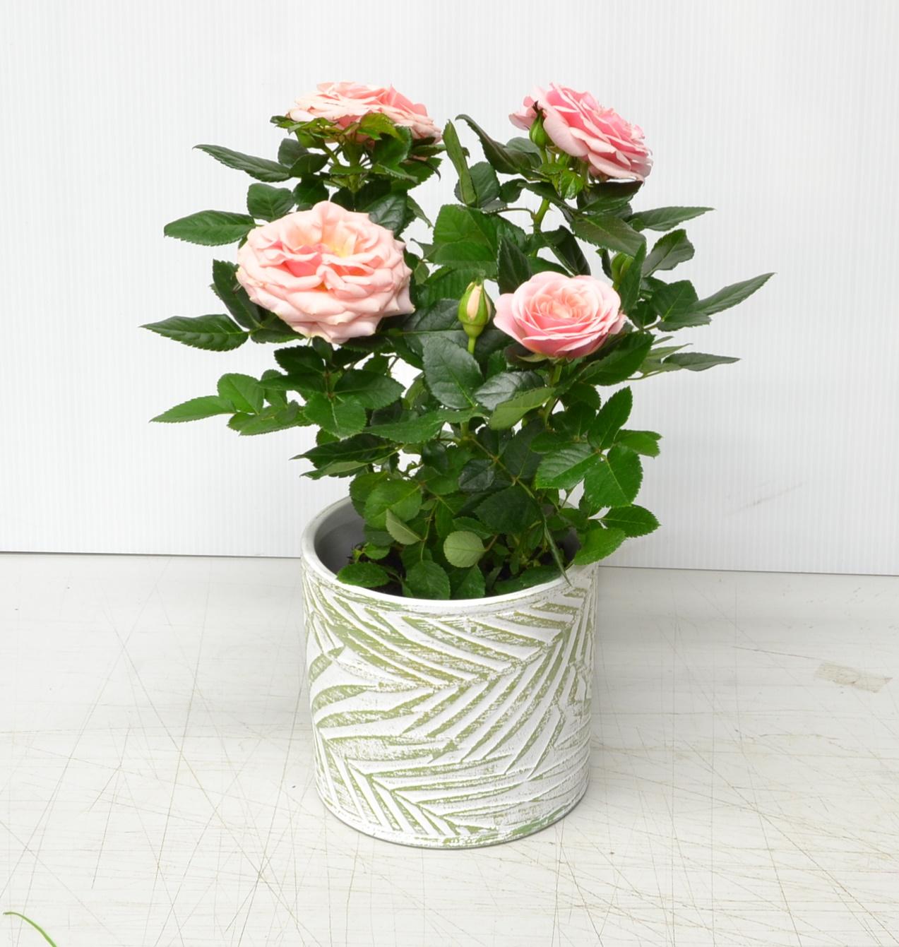 Composition fete des meres 2020 - la jardinerie de pessicart - cache pot areca rosier (1)