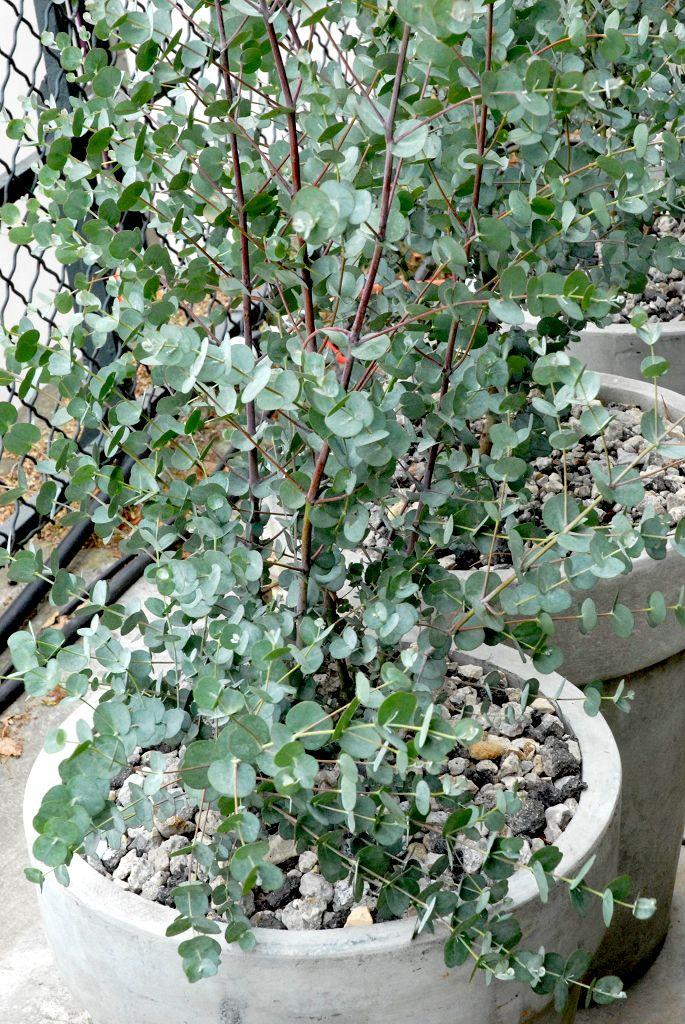 Gommier de Gunn - Eucalyptus