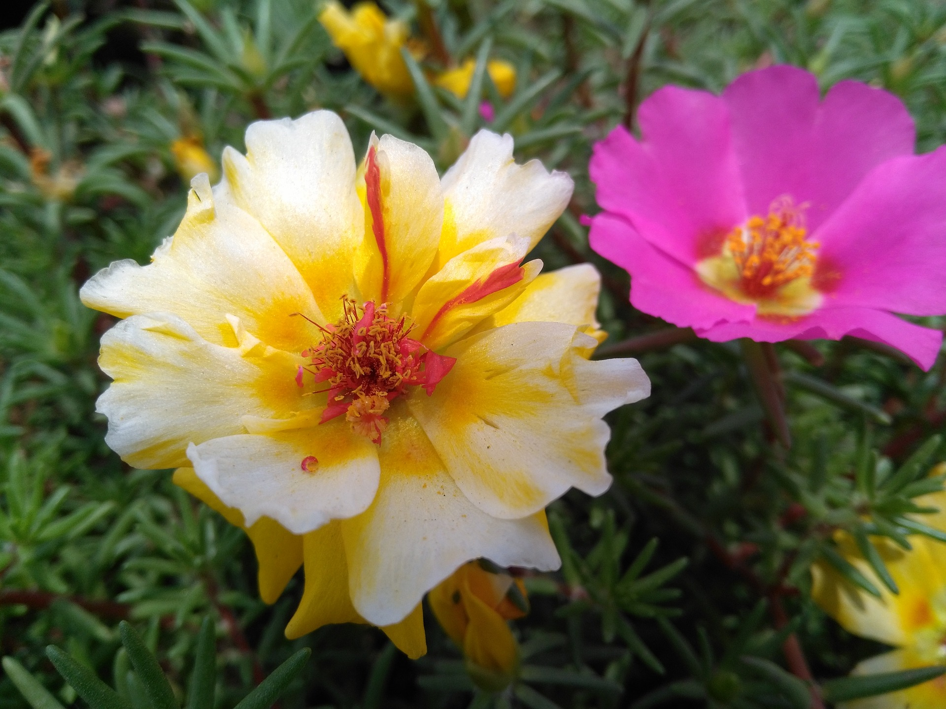 pourpier la jardinerie de pessicart livraison nice fleurs plantes 2