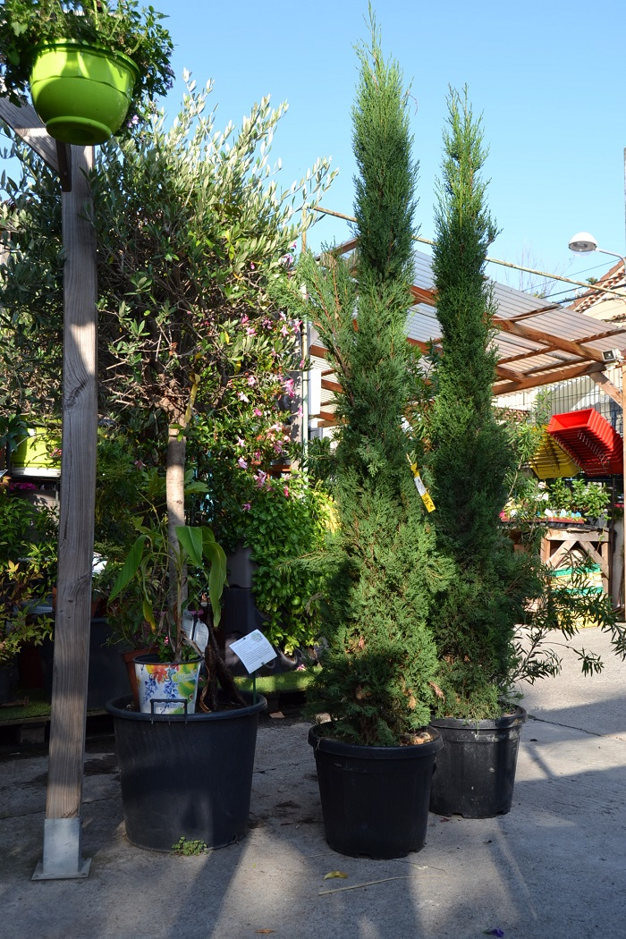 Cypres de florence la jardinerie de pessicart 2