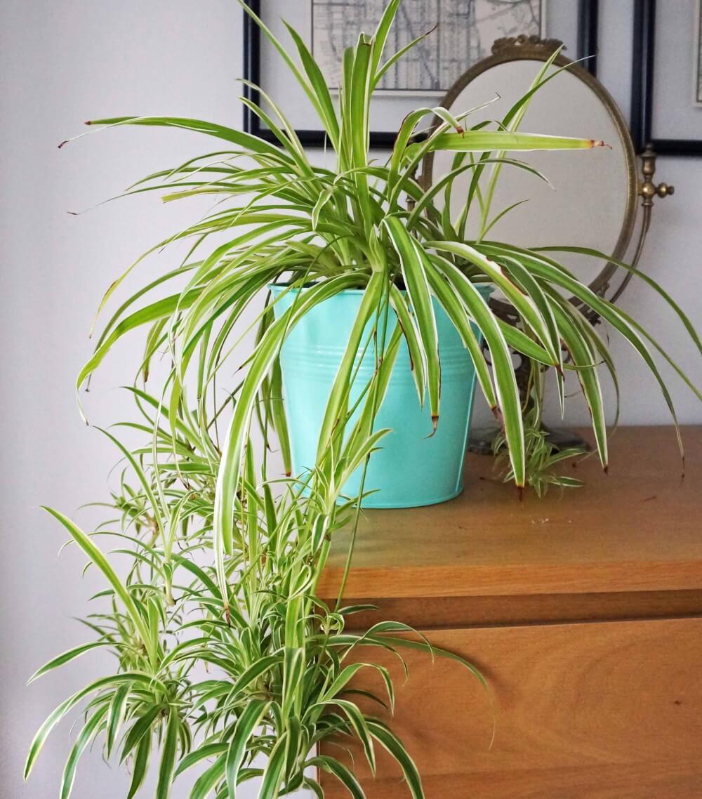Plante Araignée - Chlorophytum