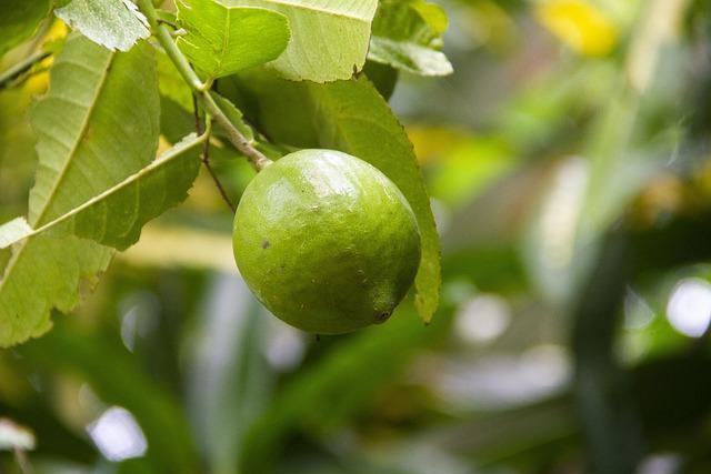 Citronnier vert - Limettier