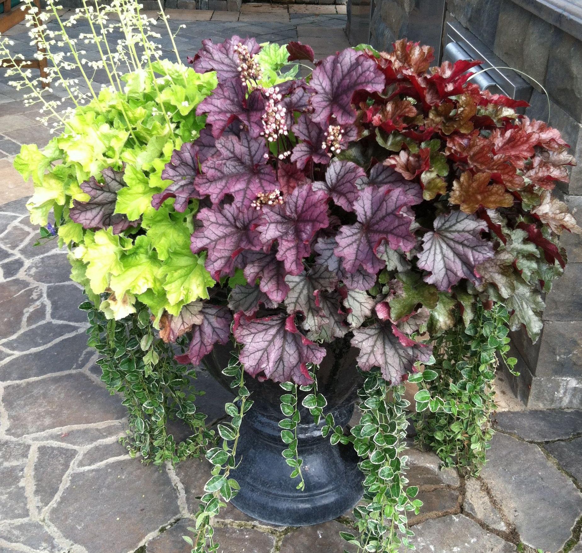 heuchera desespoir du peintre la jardinerie de pessicart 4