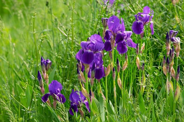 la jardinerie de pessicart iris 3
