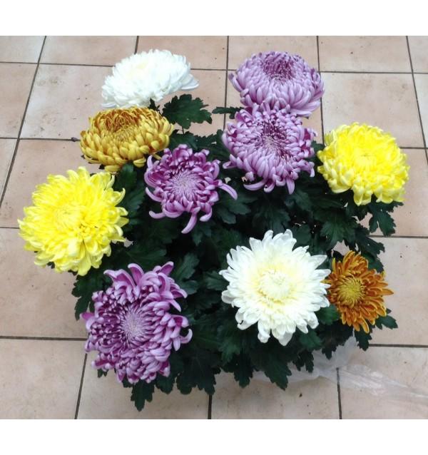 Chrysanthèmes dirigés