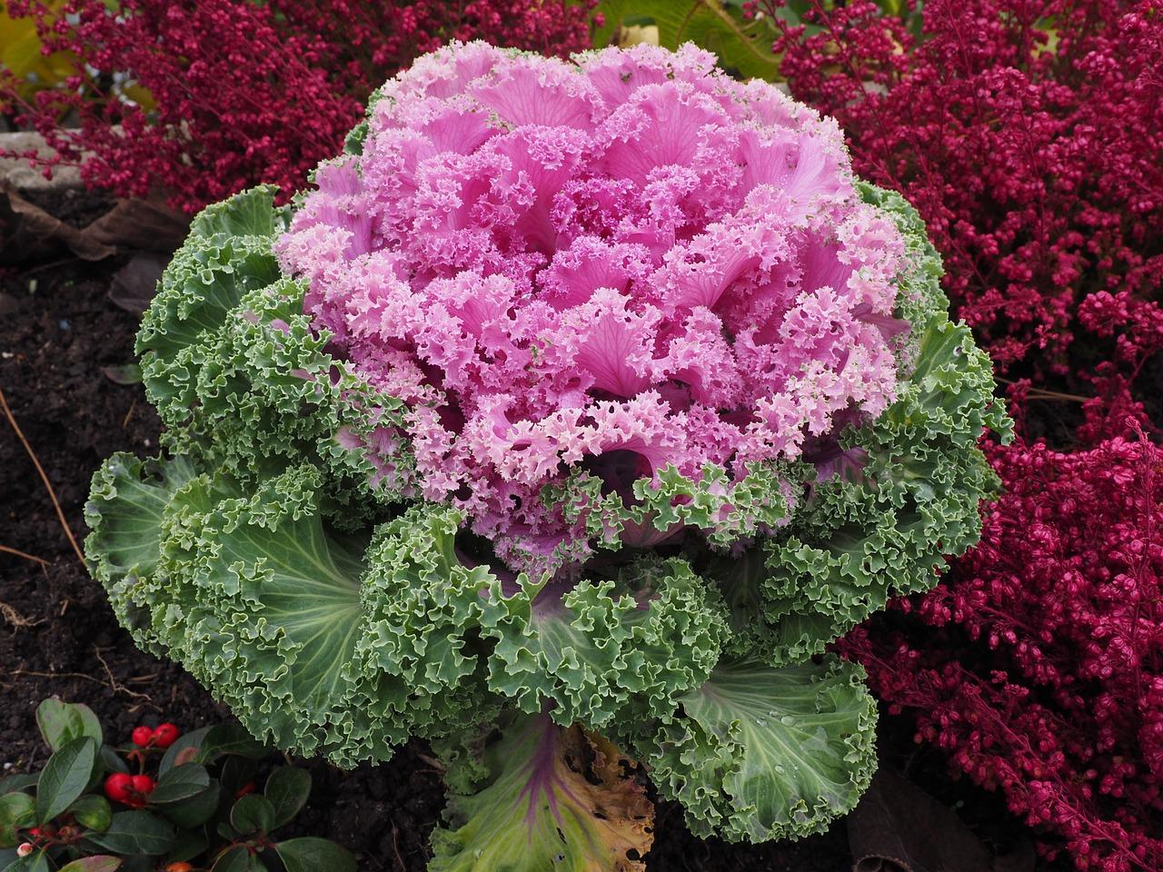 choux ornement la jardinerie de pessicart