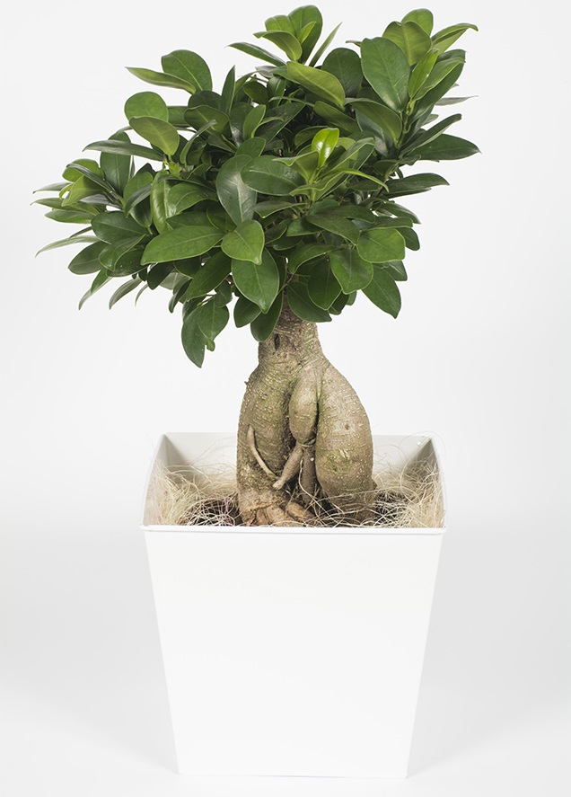 Mini Ficus ginseng - Bonsaï