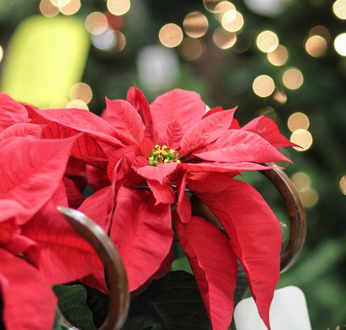 Étoile de Noël - Poinsettia