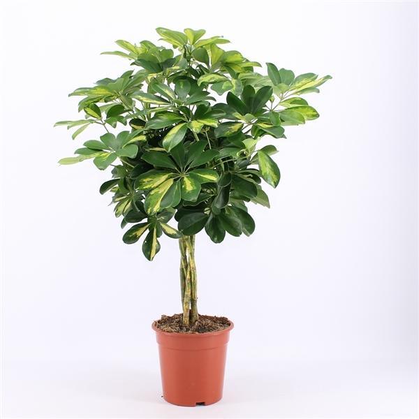 Schefflera forme arbuste