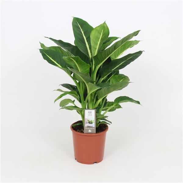 Dieffenbachia green magic