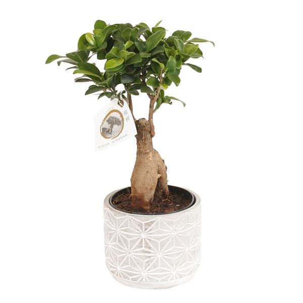 Ficus ginseng bonsaï avec cache pot déco