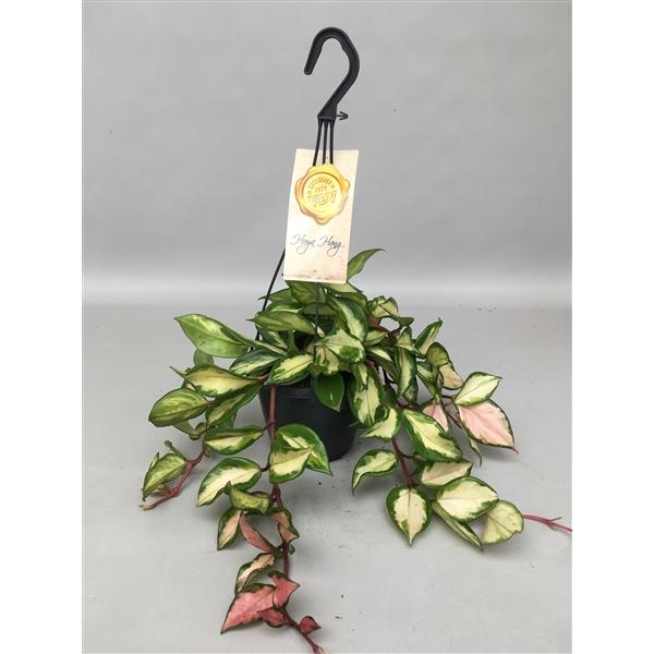 Fleur de Porcelaine - Hoya carnosa tricolor