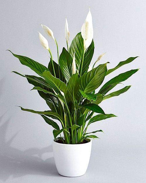 Fleur de lune - Spathiphyllum