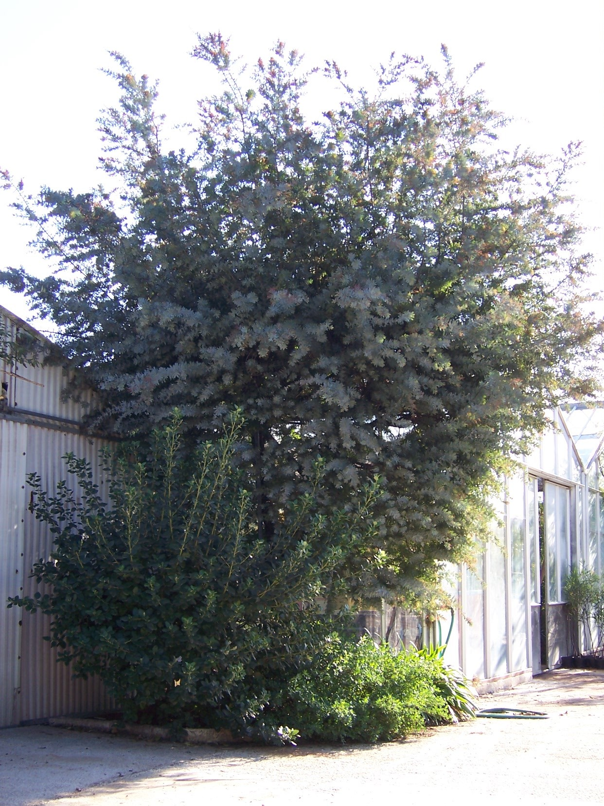 acacia-baileyana-purpurea-