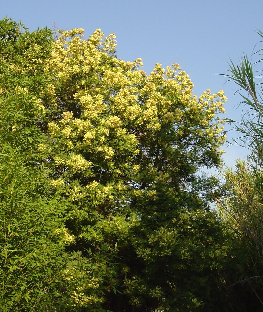 acacia-parramattensis