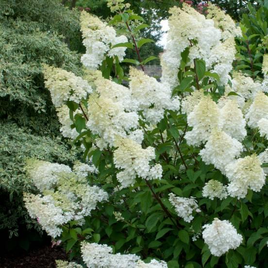 hortensia-paniculata-grandiflora.blanc la jardinerie de Pessicart NICEjpg