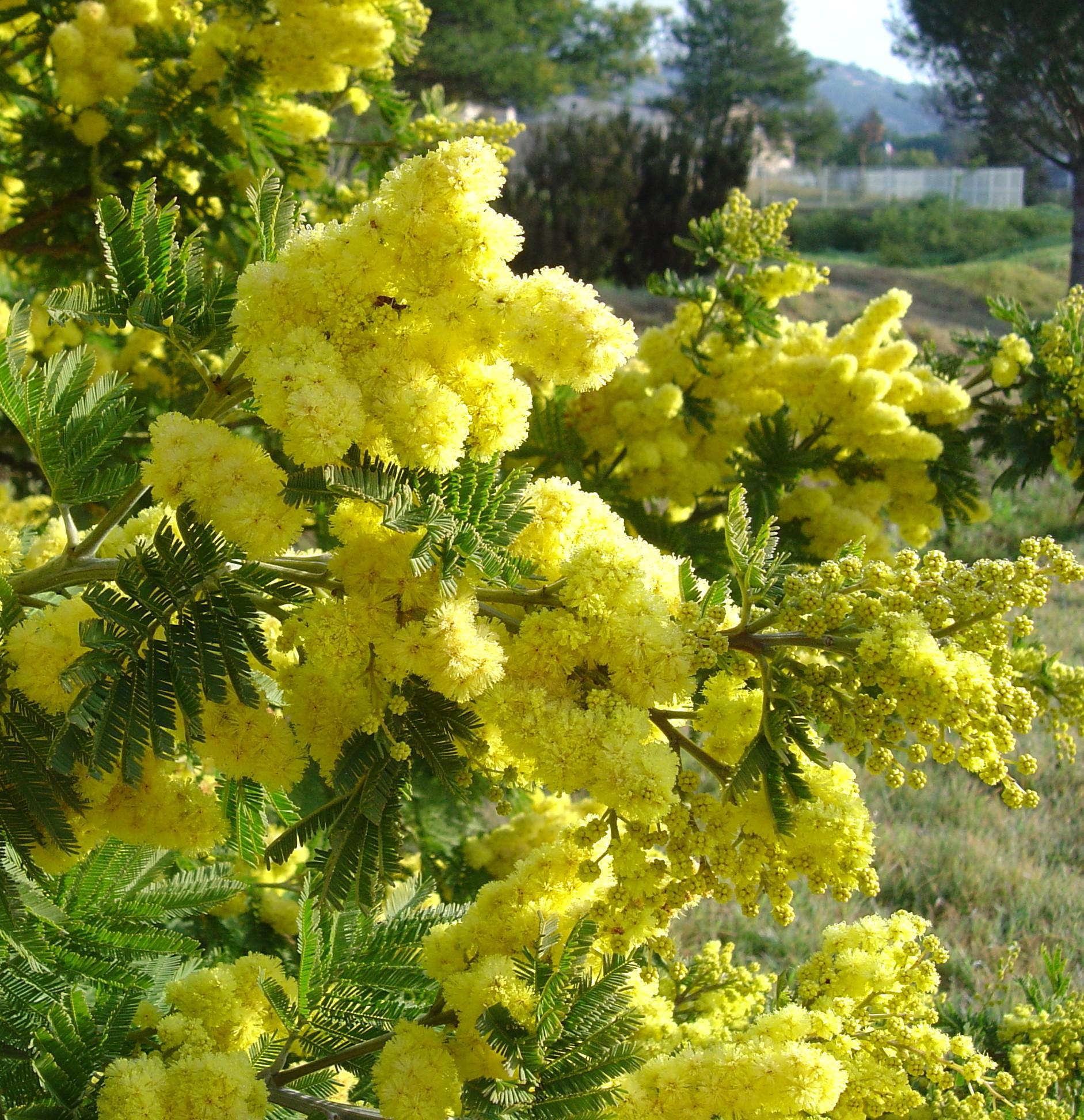 acacia-dealbata-mireille- (1)