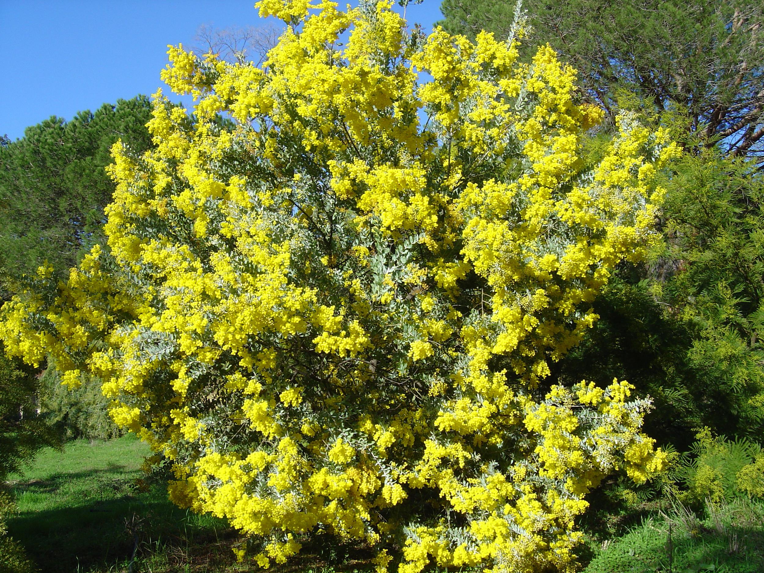 Mimosa - Acacia podalyriifolia