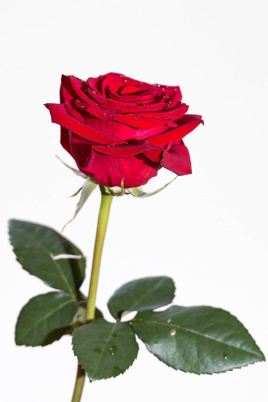roses saint valentin la jardinerie de pessicart nice livraison