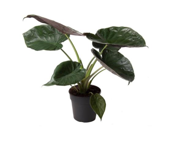 Alocasia wentii - La jardinerie de pessicart nice - Livraison a domicile nice 06 plantes vertes terres terreaux jardinage