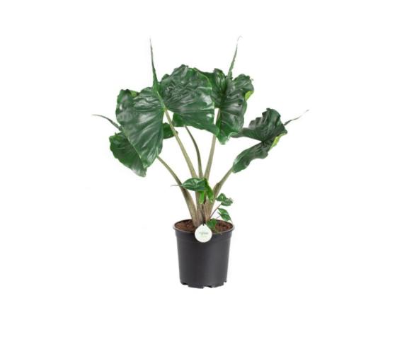 Alocasia Stingray - La jardinerie de pessicart nice - Livraison a domicile nice 06 plantes vertes terres terreaux jardinage