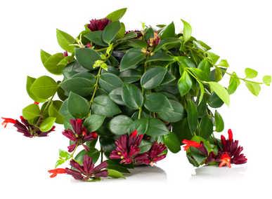 Aeschynanthe - La plante \'Rouge à lèvres