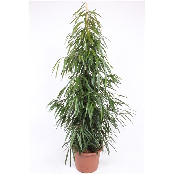 ficus alii ficus sabre ficus à longues feuilles - La jardinerie de pessicart nice - Livraison a domicile nice 06 plantes vertes terres terreaux jardinage arbres cactus