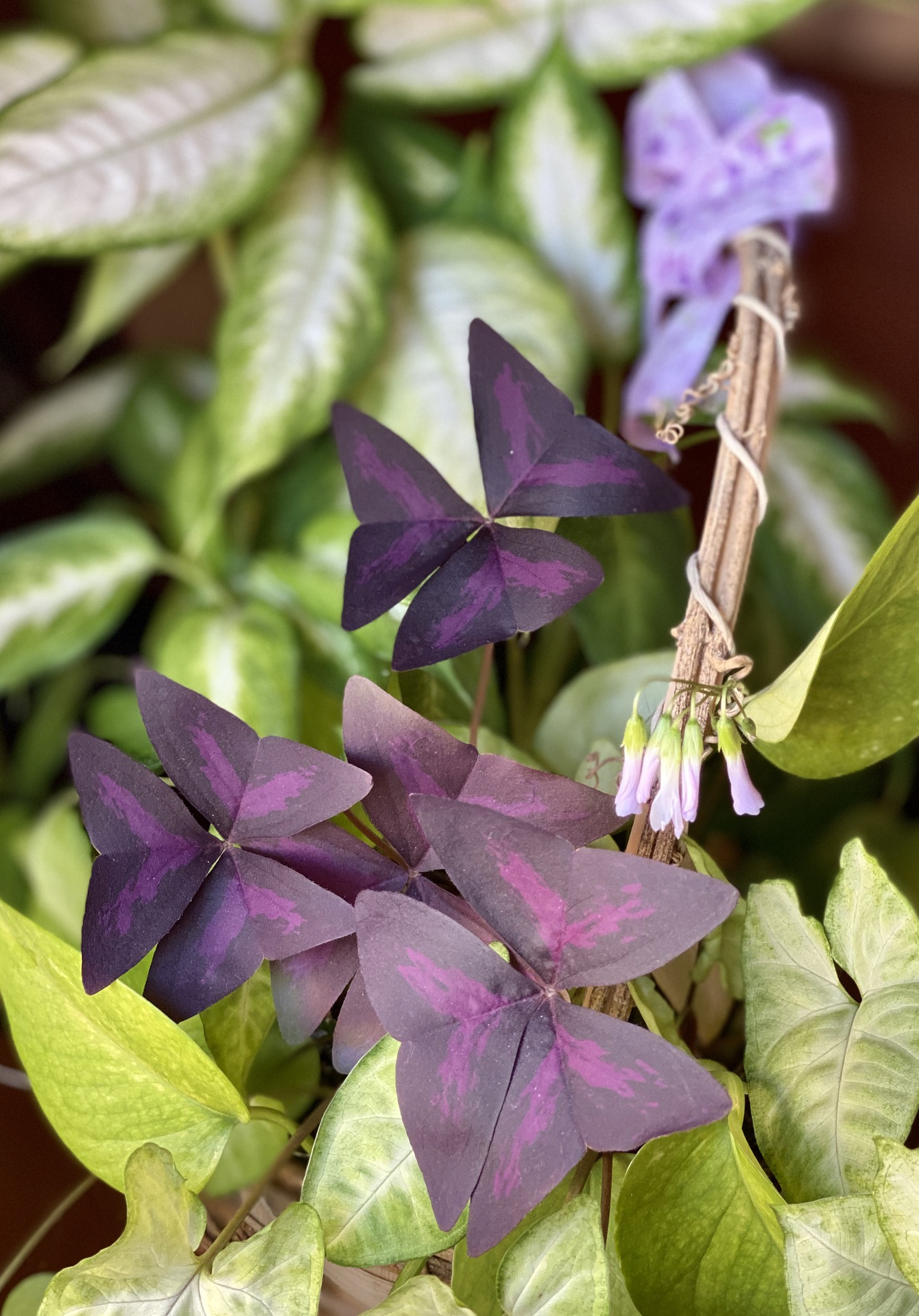 oxalis triangularis oxalis pourpre violet fleurs roses- La jardinerie de pessicart nice - Livraison a domicile nice 06 plantes vertes terres terreaux jardinage arbres cactus
