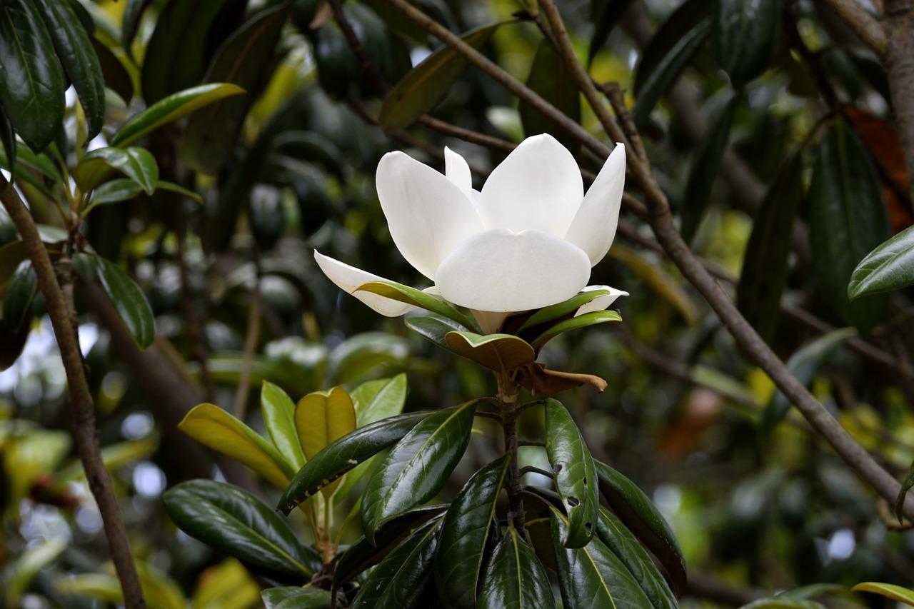 Magnolia à grandes fleurs