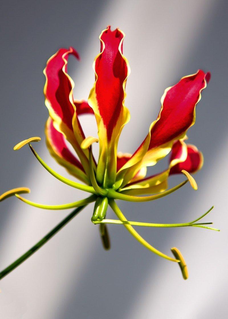 gloriosa superba plante fleurie idée cadeau 2- La jardinerie de pessicart nice - Livraison a domicile nice 06 plantes vertes terres terreaux jardinage arbres cactus