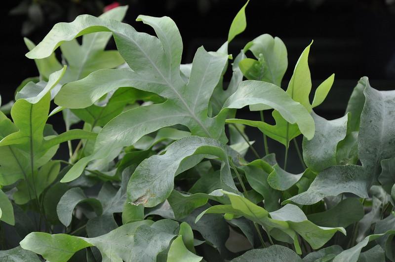 Phlebodium aureum blue star - La jardinerie de pessicart nice - Livraison a domicile nice 06 plantes vertes terres terreaux jardinage arbres cactus