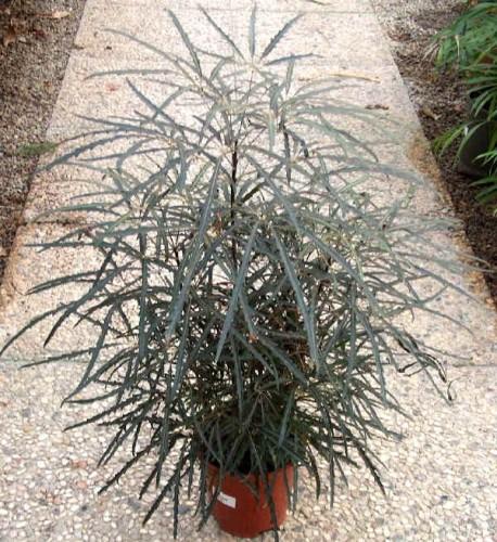 dizygotheca - La jardinerie de pessicart nice - Livraison a domicile nice 06 plantes vertes terres terreaux jardinage arbres cactus