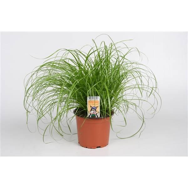herbe à chat cyperus - La jardinerie de pessicart nice - Livraison a domicile nice 06 plantes vertes terres terreaux jardinage arbres cactus