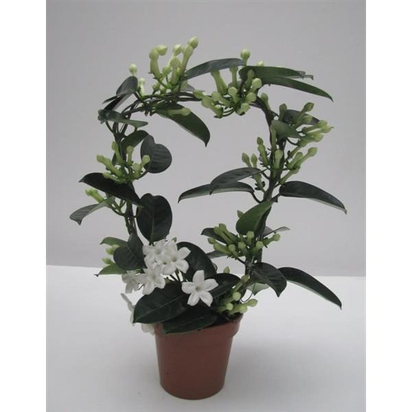 Stephanotis jasmin de madagascar - La jardinerie de pessicart nice - Livraison a domicile nice 06 plantes vertes terres terreaux jardinage arbres cactus