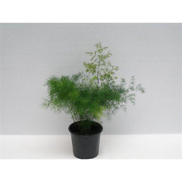 asparagus densiflorus myriocladus - La jardinerie de pessicart nice - Livraison a domicile nice 06 plantes vertes terres terreaux jardinage arbres cactus