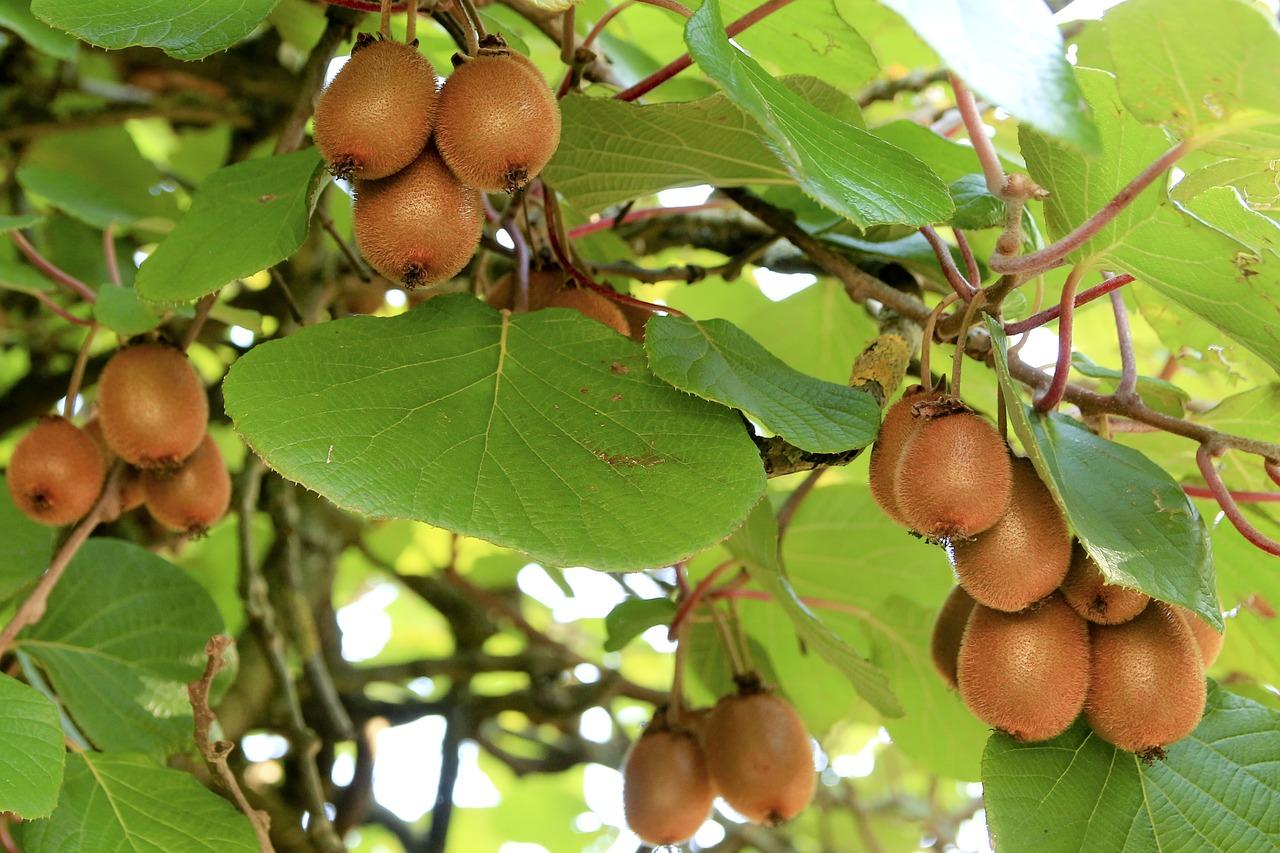 kiwi actinidia - La jardinerie de pessicart nice - Livraison a domicile nice 06 plantes vertes terres terreaux jardinage arbres cactus