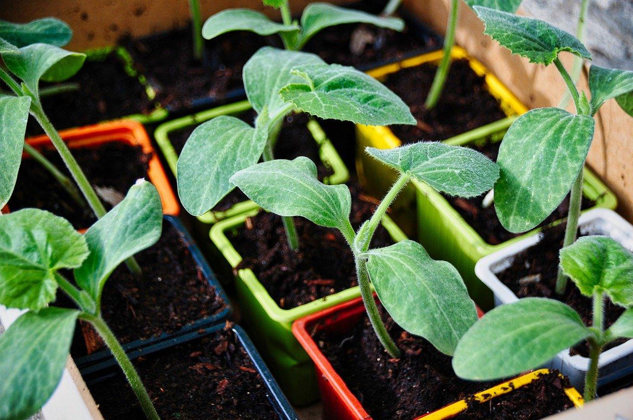 courgette plants potager - La jardinerie de pessicart nice - Livraison a domicile nice 06 plantes vertes terres terreaux jardinage arbres cactus