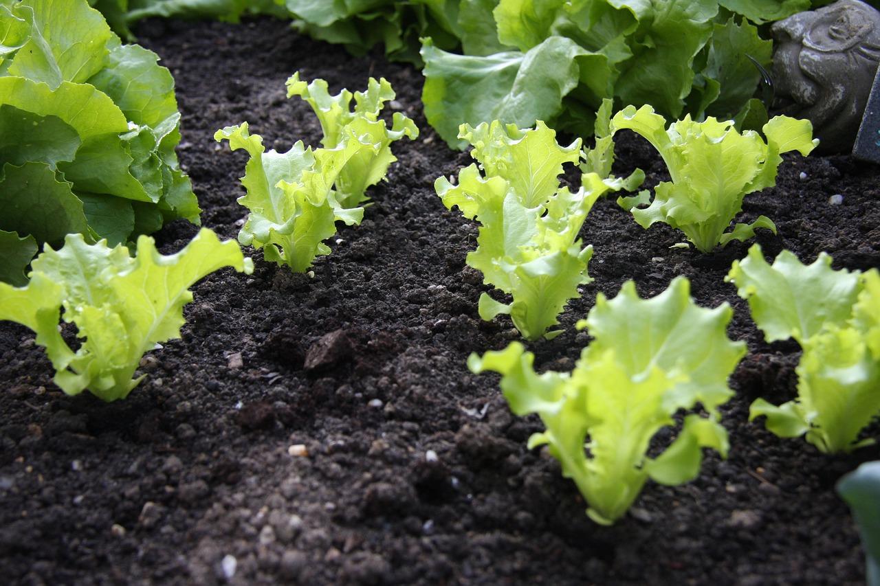 plants de salades plantons potager - La jardinerie de pessicart nice - Livraison a domicile nice 06 plantes vertes terres terreaux jardinage arbres cactus
