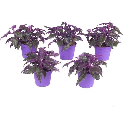 Gynura plante violette - La jardinerie de pessicart nice - Livraison a domicile nice 06 plantes vertes terres terreaux jardinage arbres cactus
