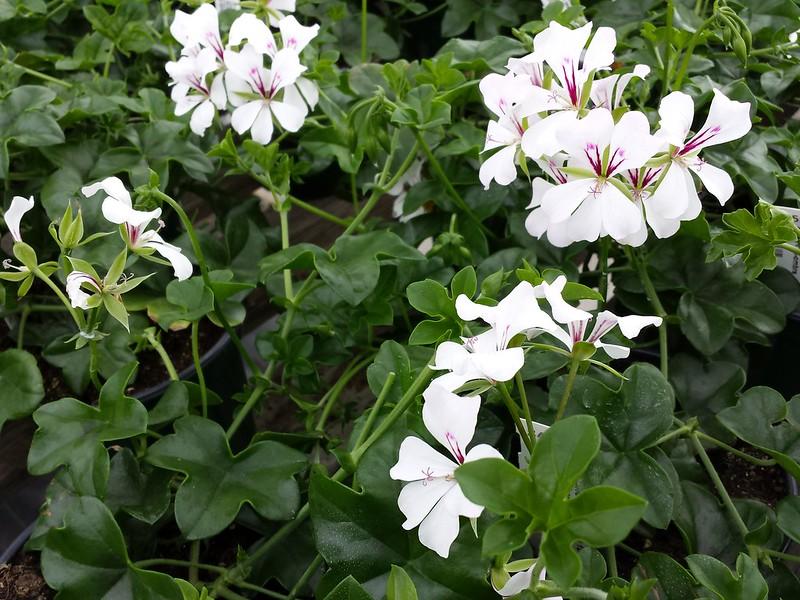 gerenium lierre roi des balcons  - La jardinerie de pessicart nice - Livraison a domicile nice 06 plantes vertes terres terreaux jardinage arbres cactus