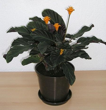 Calathea crocata  Photo credit blumenbiene on Visualhunt - La jardinerie de pessicart nice - Livraison a domicile nice 06 plantes vertes terres terreaux jardinage arbres cactus